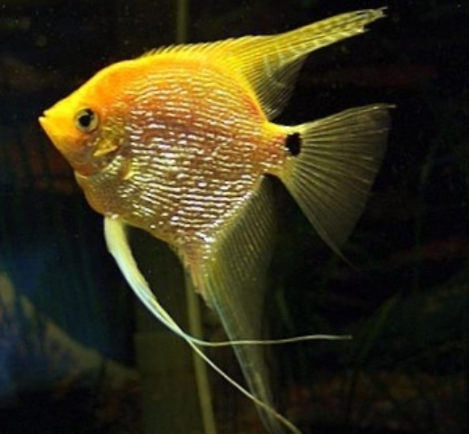 Angelfish - Yellow Platinum Pearlscale - Medium